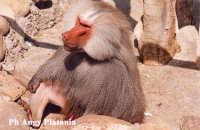 Parco Zoo - Etnaland - Babbuino  - Paternò (5622 clic)