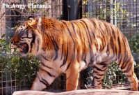 Parco Zoo - Etnaland - Tigre  - Paternò (7634 clic)