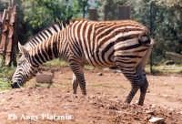 Parco Zoo - Etnaland - Zebra  - Paternò (5932 clic)