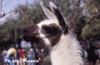 Parco Zoo - Etnaland - Asino (ma non mi ricordo la razza)  - Paternò (3622 clic)
