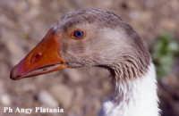 Parco Zoo - Etnaland - Anatra  - Paternò (9488 clic)