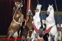 Il circo - Cavalli  - Catania (15216 clic)