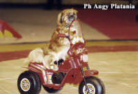 Il circo - Il cane motociclista  - Catania (7748 clic)
