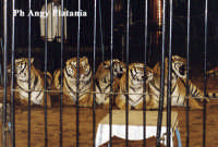 Il circo - Le tigri  - Catania (8759 clic)