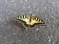 La farfalla  Felice Modica