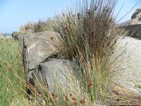 Isole Eolie ME Particolare pianta dell' isola di Vulcano  - Vulcano (6235 clic)