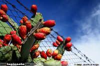 frutti siculi  - Catania (4241 clic)