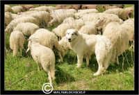 Caltanissetta. Campagna nissena. Campagna vicino la zona industriale Contrada Calderaro. Gregge di pecore.   - Caltanissetta (2817 clic)