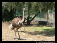 Parco Zoo di Paterno'. Struzzo.  - Paternò (7591 clic)