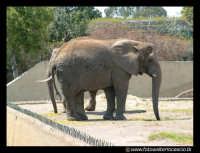 Parco Zoo di Paterno'. Elefante.  - Paternò (7580 clic)