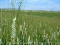 Spighe di Grano in una campagna Agirina.  - Agira (4230 clic)