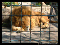 Parco Zoo di Paterno'. Leone.  - Paternò (28602 clic)