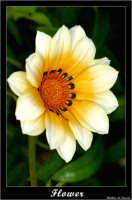 Caltanissetta. Campagna nissena. Margherita. Fiori. Flower CALTANISSETTA Walter Lo Cascio