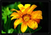 Caltanissetta. Campagna nissena. Margherita. Fiori. Flower #2 CALTANISSETTA Walter Lo Cascio