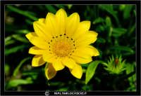 Caltanissetta. Campagna nissena. Margherita. Fiori. Flower #3 CALTANISSETTA Walter Lo Cascio