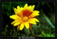 Caltanissetta. Campagna nissena. Margherita. Fiori. Flower #4 CALTANISSETTA Walter Lo Cascio