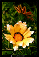 Caltanissetta. Campagna nissena. Margherita. Fiori. Flower #5 CALTANISSETTA Walter Lo Cascio