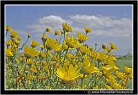 Agira: Campagna Agirina in primavera. Margherite gialle.  - Agira (3345 clic)