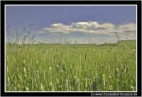 Agira: Campagna Agirina in primavera. Spighe di grano.  - Agira (3931 clic)