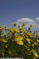 Margheritone gialle nella campagna Agirina.  - Agira (3257 clic)