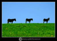 Regalbuto. Campagna di Regalbuto, vicino il lago Pozzillo. I tre somari (asini). Foto Walter Lo Cascio www.walterlocascio.it  - Regalbuto (2190 clic)