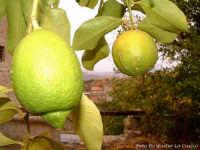 Limoni maturi.  - Santa caterina villarmosa (6219 clic)