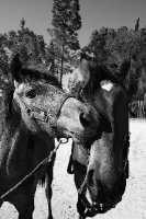 Amori equini.  - Regalbuto (4416 clic)