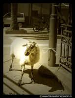 Una pecorella legata ad un palo della luce in Piazza.  - Regalbuto (3361 clic)