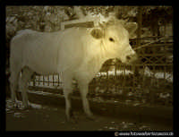 Una Vacca, legata in piazza a Regalbuto.  - Regalbuto (3579 clic)