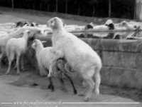 Montone che monta. La velocità del rapporto sessuale di un ovino con la sua.....pecorella.  - Agira (42508 clic)