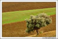 Caltanissetta. Campagna nissena. Colori nell'agricoltura #1  - Caltanissetta (2920 clic)