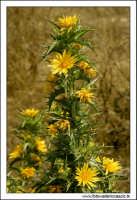 Caltanissetta. Valle dell'Imera. Flora tipica.  - Caltanissetta (3354 clic)