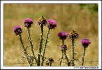 Caltanissetta. Valle dell'Imera. Flora tipica 4  - Caltanissetta (3144 clic)