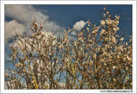 Agrigento. Mandorlo in fiore.  - Agrigento (1602 clic)
