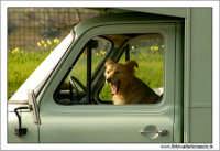 Agrigento. Cane assonnato alla guida.  - Agrigento (1654 clic)