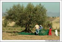 Agira (ENNA). Raccolta delle olive. (foto 1)  30 Ottobre 2005  - Agira (3380 clic)
