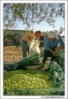 Agira (ENNA). Raccolta delle olive. (foto 5)  30 Ottobre 2005  - Agira (3939 clic)