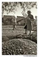 Agira (ENNA). Raccolta delle olive. (foto 6)  30 Ottobre 2005  - Agira (3387 clic)