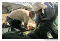 Agira (ENNA). Raccolta delle olive. (foto 7)  30 Ottobre 2005 AGIRA Walter Lo Cascio