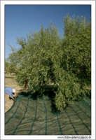 Agira (ENNA). Raccolta delle olive. (foto 8)  30 Ottobre 2005 AGIRA Walter Lo Cascio