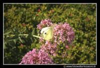 Assoro: Una farfalla su un fiore.  - Assoro (2827 clic)