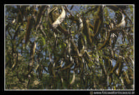 Assoro: Fra gli alberi.  - Assoro (3393 clic)