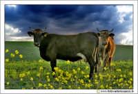 Caltanissetta, Campagna nissena. Vacche al pascolo. Le due mucche, sembra che si siano messe in posa quando mi hanno visto arrivare con la mia macchina fotografica.  - Caltanissetta (3255 clic)