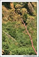 Caltanissetta. Valle de'Imera. Flora.  CALTANISSETTA Walter Lo Cascio
