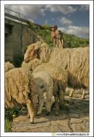 Santa Caterina Villarmosa: Un pastore con il suo gregge. #1  - Santa caterina villarmosa (3141 clic)