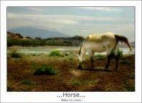 Regalbuto, Lago di Pozzillo: Cavallo al pascolo. Horse, equino, lago di pozzillo con sfondo dell'etna.  - Regalbuto (2446 clic)
