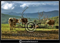 Nissoria. Campagna di Nissoria. Mucche al pascolo.  - Nissoria (3895 clic)