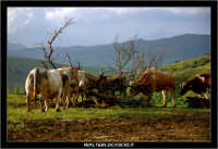 Nissoria. Campagna di Nissoria. Mucche al pascolo 2.  - Nissoria (3838 clic)