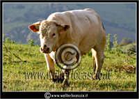 Nissoria. Campagna di Nissoria. Toro in avvicinamento.  - Nissoria (3654 clic)