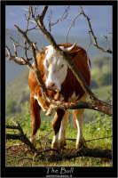 Nissoria. The Bull.  - Nissoria (2500 clic)